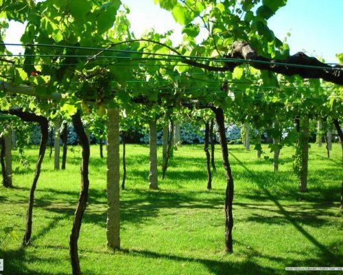 1200px-galician_vineyard_with_wide_vine_spacing